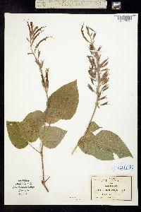 Image of Salvia longistyla
