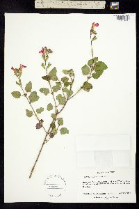 Salvia microphylla image