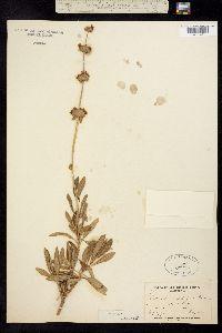Salvia mellifera image
