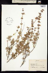 Image of Salvia munzii