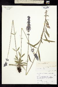 Salvia muscarioides image