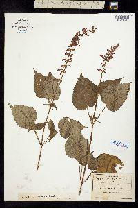 Image of Salvia membranacea
