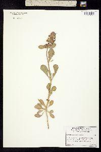 Salvia pachyphylla image