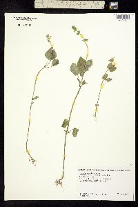 Image of Salvia podadena