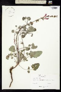 Salvia roemeriana image