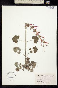 Image of Salvia roemeriana