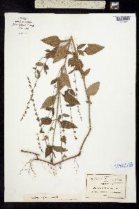 Image of Salvia misella