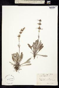 Image of Salvia sonomensis