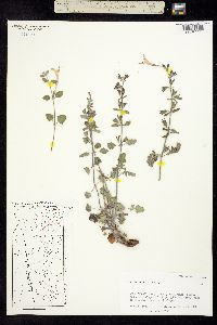 Image of Salvia summa