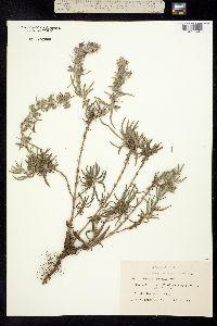 Image of Salvia texana