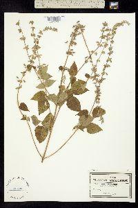 Salvia uruapana image