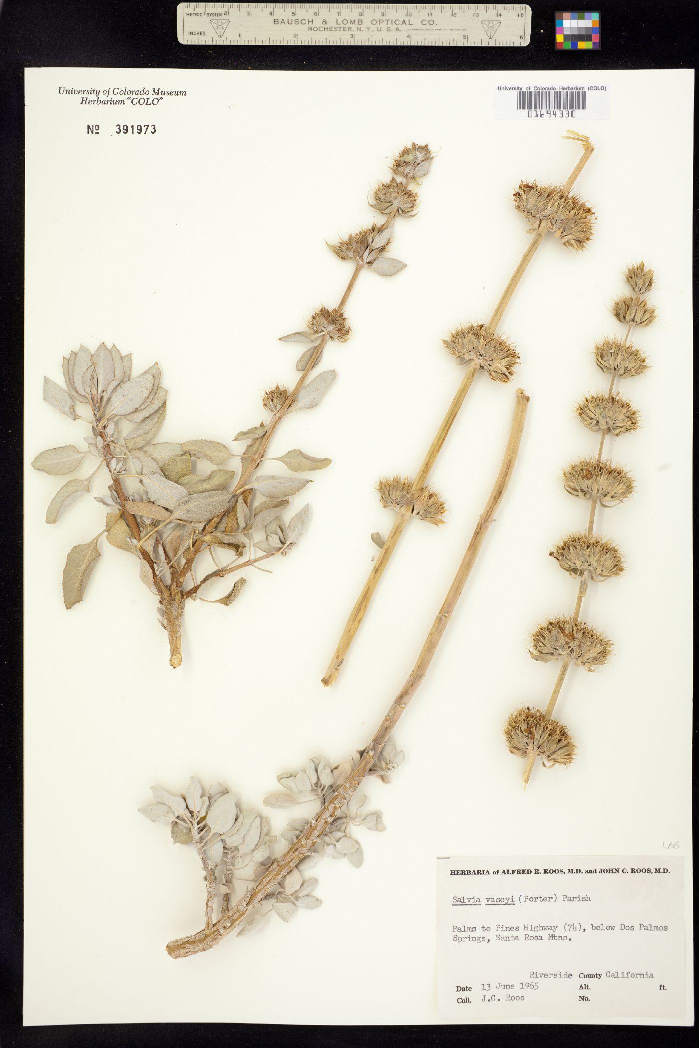 Salvia vaseyi image