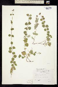 Image of Clinopodium douglasii