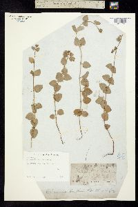 Micromeria douglasii image