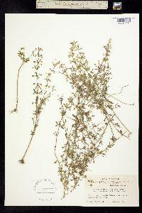 Image of Clinopodium glabellum