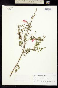 Clinopodium coccineum image