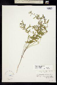 Image of Scutellaria angustifolia