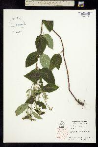 Image of Scutellaria incana