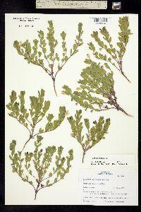 Image of Scutellaria nana