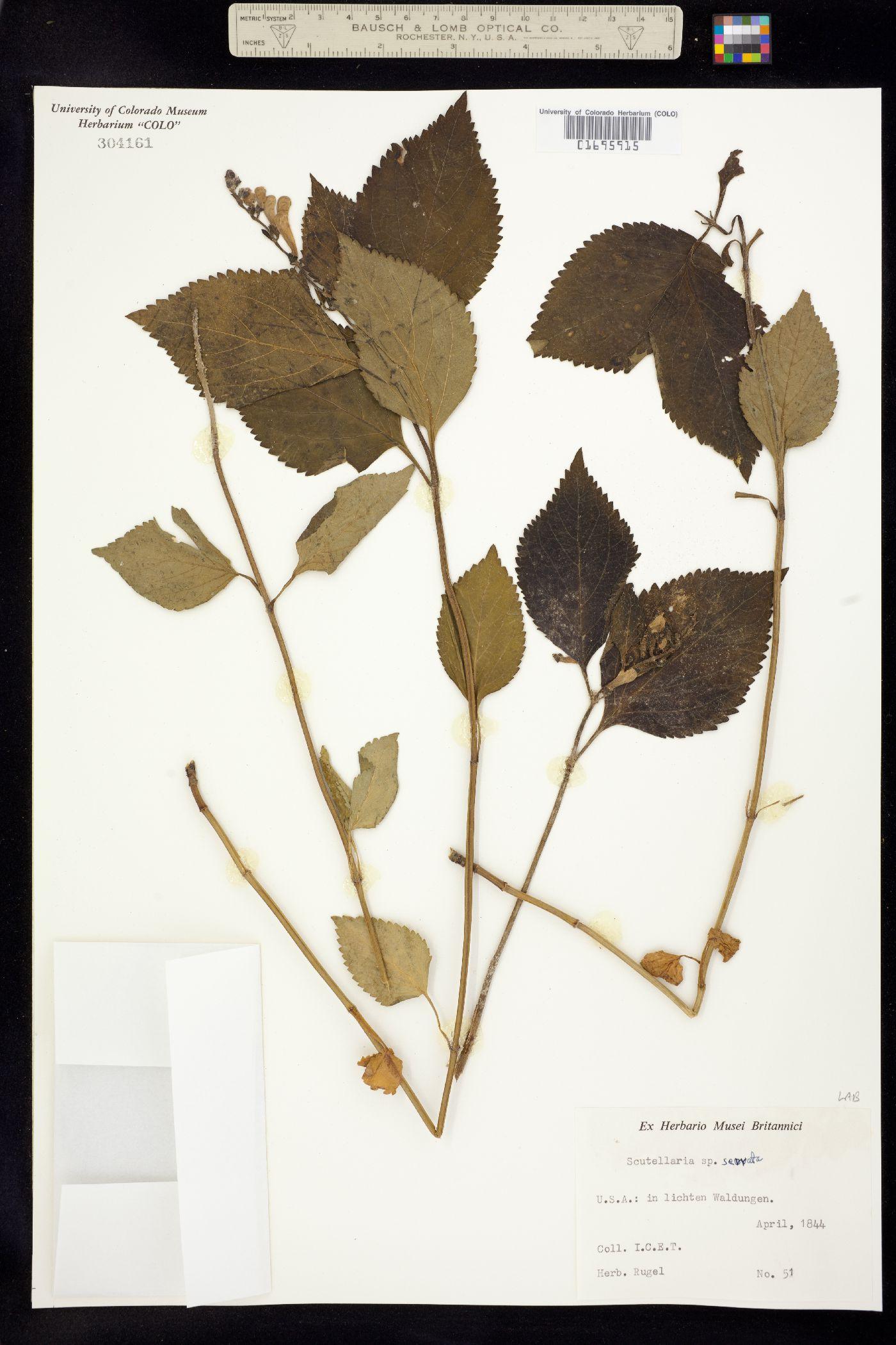 Scutellaria serrata image