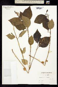 Image of Scutellaria serrata