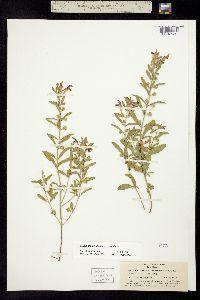 Scutellaria siphocampyloides image