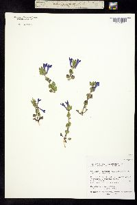 Image of Scutellaria tuberosa