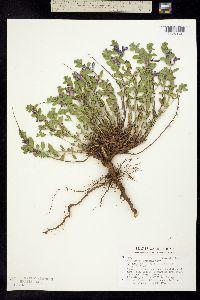 Image of Scutellaria wrightii