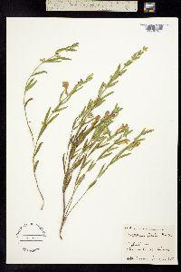 Image of Scutellaria bushii