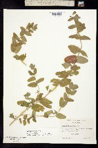 Image of Scutellaria bolanderi