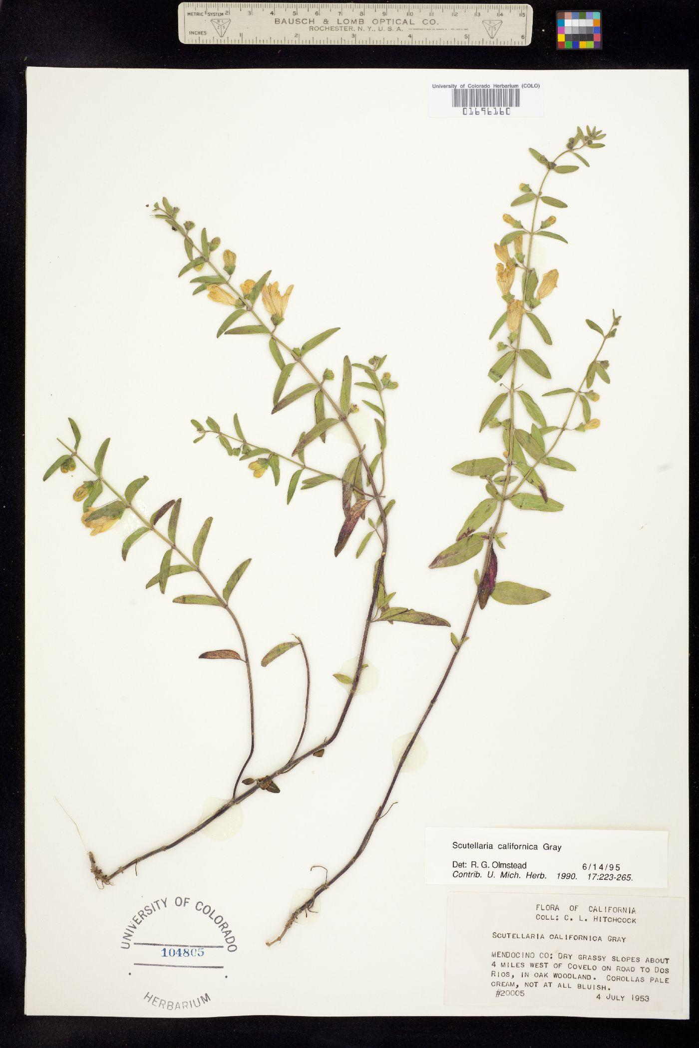 Scutellaria californica image