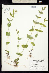 Image of Scutellaria nervosa