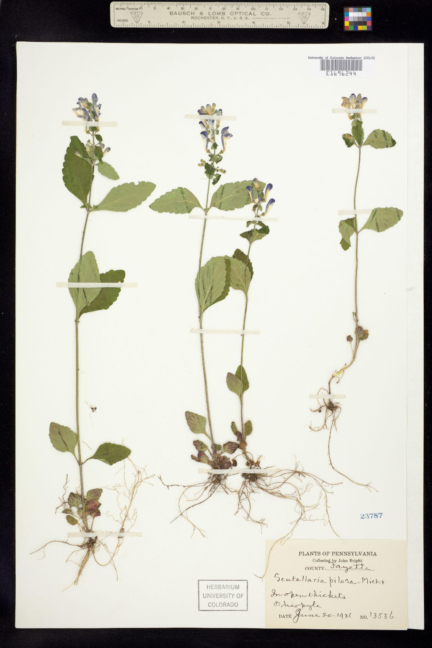Scutellaria pilosa image