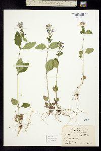 Image of Scutellaria ovalifolia