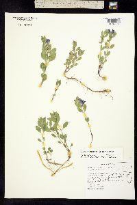 Image of Scutellaria sapphirina
