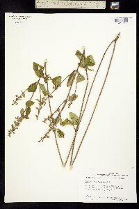 Image of Scutellaria elliptica