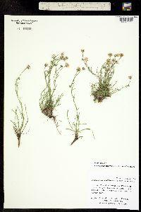 Image of Erigeron nematophylloides