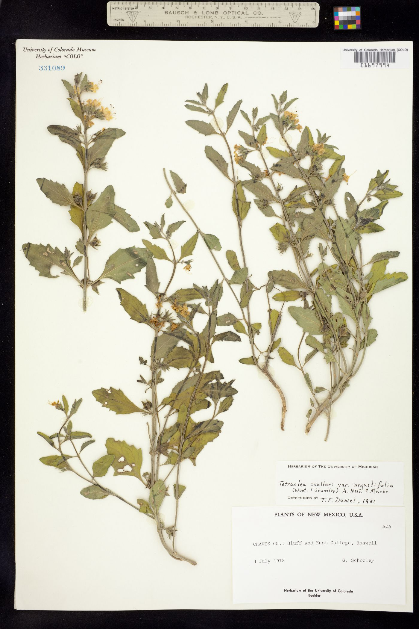 Tetraclea coulteri image