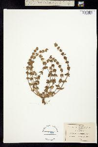 Stachys eriantha image