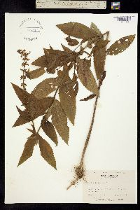 Image of Stachys latidens