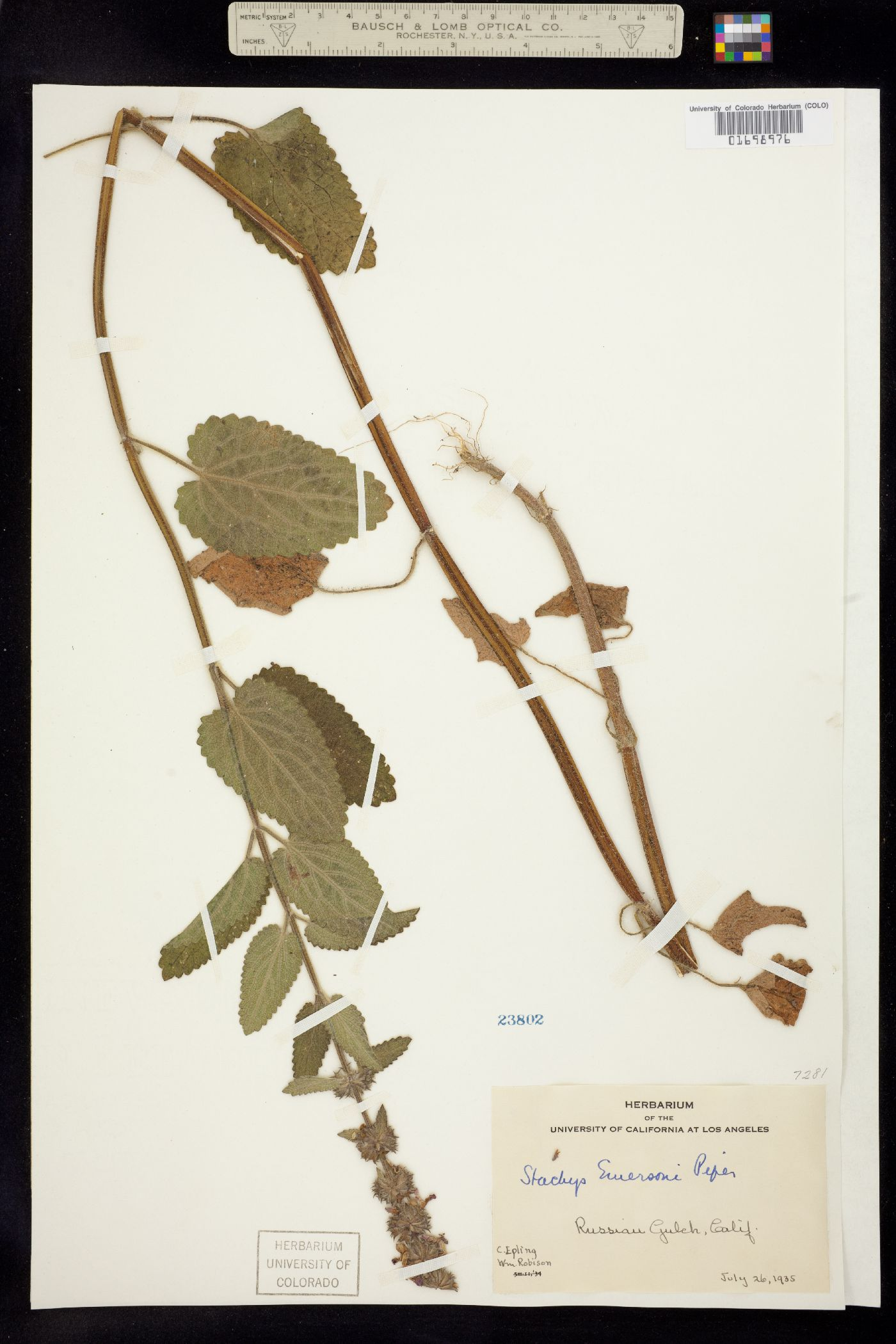 Stachys mexicana image