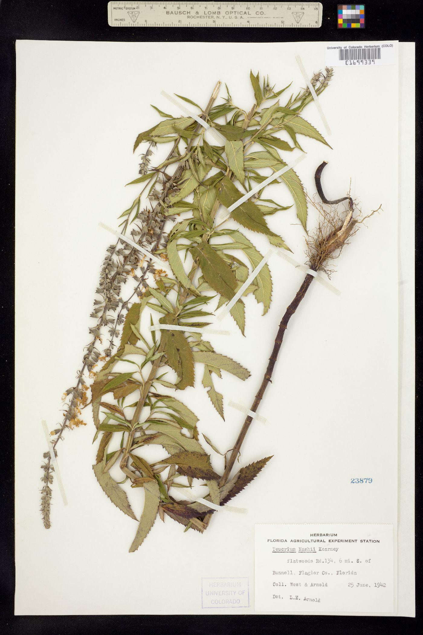 Teucrium canadense var. hypoleucum image