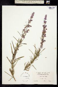 Trichostema lanatum image