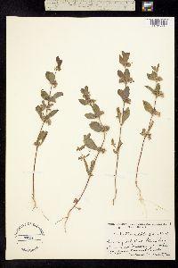 Image of Trichostema oblongum