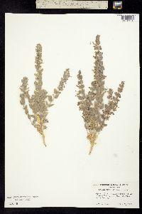Image of Trichostema ovatum