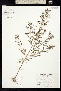 Image of Trichostema setaceum