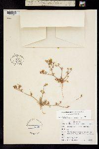 Chorizanthe flava image