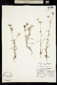 Image of Chorizanthe membranacea