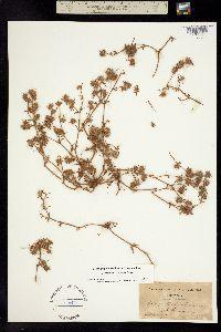 Chorizanthe clevelandii image