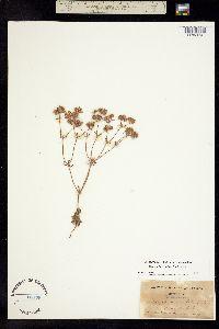Chorizanthe stellulata image